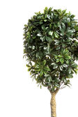 Green decorative bush — Stock Photo