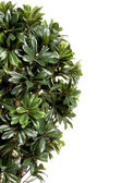 Green decorative bush border — Stock Photo