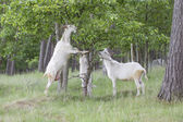 Goats in the field — Foto Stock