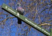 голубь на указатель в лондоне — Стоковое фото