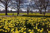 Daffodils in Hyde Park — Stock Photo