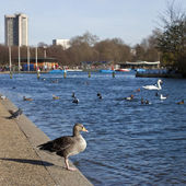 Duck in Hyde Park — Foto de Stock