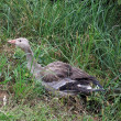 Stock Photo: Greylag goose