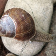 Snails on a stone (Helix pomatia) — Stock Photo