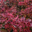 Barberry, magentbackground — Stock Photo #33802747