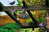 üç saka kuşu besleme. — Stok fotoğraf