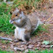 Grey squirrel standing. — Stock Photo