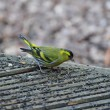 Siskin on decking. — Stock Photo