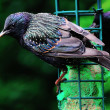 Mature Starling on a feeder. — Stock Photo