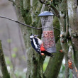 Woodpecker feeding. — Stock Photo