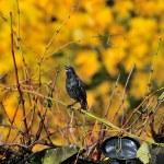 ������, ������: Starling singing