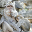 Monkey at temple in bali indonesia - Stock Photo