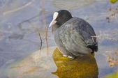 Wspólne łyska ptak — Zdjęcie stockowe