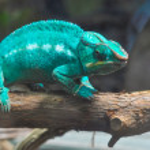 Chameleon — Stock Photo #18242907
