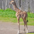 Giraffe — Stock Photo #18375649