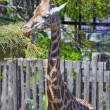 Giraffe — Stock Photo #18512231
