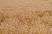 Triticum wheat — Stock Photo