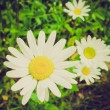 Daisy retro looking — Stock Photo