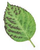 Hortensia leaf isolated — Stock Photo