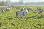 Vaca de gado — Foto Stock