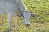 Cattle cow — Stock Photo