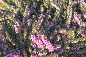 Erica carnea flower — Stock Photo