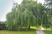 Weeping Willow tree — Stock Photo