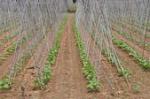 Bean plant — Stock Photo
