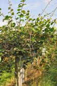 Prunus ovocný strom — Stock fotografie