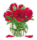 Beautiful red peonies in glass vase with bow isolated on white — Stock Photo