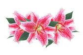 Beautiful pink lily isolated on white background — Stock Photo