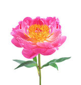 Beautiful pink peony isolated on white background — Stock Photo