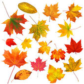 Collection beautiful colourful autumn leaves isolated on white b — 图库照片