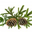图库照片: Branch of Green Christmas tree with cones isolated on white