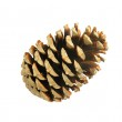 Beautiful golden pine cone isolated on white — Stock Photo