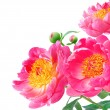 Peony Flowers Bouquet over white background — Stock Photo #40224695