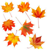 Set of autumn maple leaves isolated on white background — Stock Photo