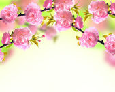Pink sakura blossom, spring background — Stock Photo
