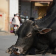 Indian holy cow in the street — Stock Photo #46044323