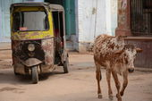 Indian holy cow and ricksha in the street — Stock Photo