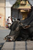 Indian holy cow in the street — Stock Photo
