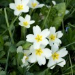 Primula - Stock Photo