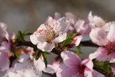 Peach bossoms — Stock Photo