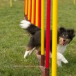 Agility dog — Stock Photo