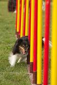 Köpek çeviklik — Stok fotoğraf