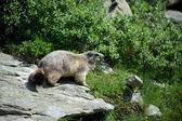 Groundhog — Stock Photo