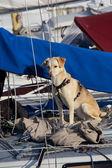 Dog on the ship — Stock Photo
