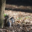 Squirrel — Stock Photo #41559345