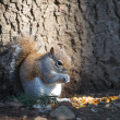 Squirrel — Stock Photo #41559503