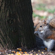 Squirrel — Stock Photo #41559739